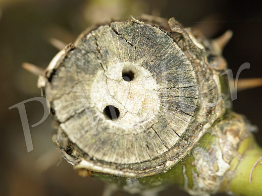 Bild: markhaltige Stengel, hier eine Rose, werden wohl auch doppelt angenommen ...