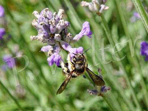 Bild: Garten-Wollbiene, Anthidium manicatum, Männchen am Lavendel