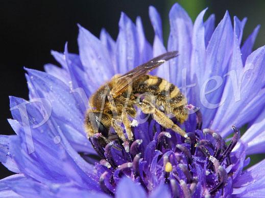 Bild: Gelbbindige Furchenbiene, Halictus scabiosae, an einer Kornblumenblüte