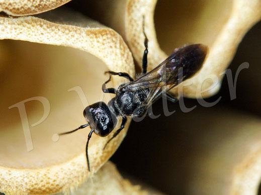 Bild: eine Grabwespe auf der Suche nach Spinnen
