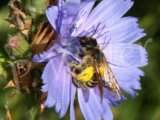 Bild: Gelbbindige Furchenbiene, Halictus scabiosae, Weibchen trinkt Nektar an einer Wegwarte