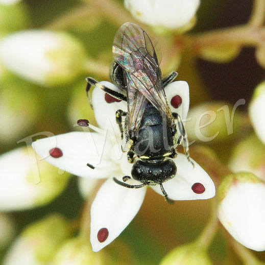 Bild: eine Maskenbiene, Hylaeus spec.,  an den Blüten des Apollokrauts, der weißen Mauerpfeffers