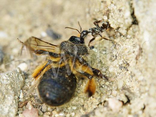 Bild: eine Ameise hat eine tote Sandbiene entdeckt und versucht, diese wegzuschleppen