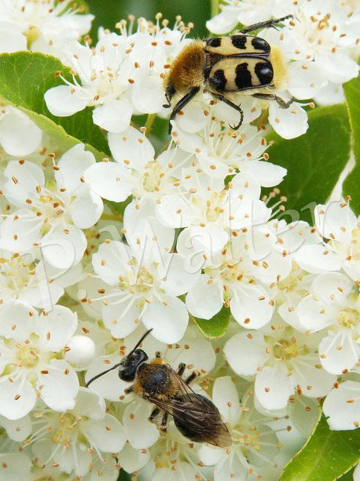 22.05.2018 : Sandbiene und Pinselkäfer an den Blüten des Feuerdorns