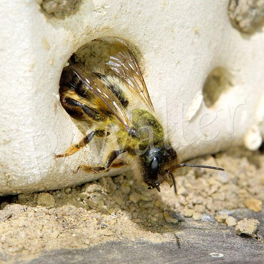 02.06.2019 : eine Mauerbiene beim Verlassen ihres Nistgangs im Tonstein