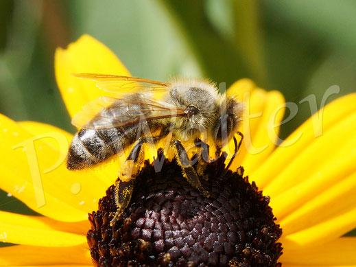 Bild: Honigbiene, Spis mellifera, Sonnenhut, Rudbeckia, Blüte