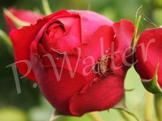 20.07.2014 : Rosenblüte als Versteck der Gartenkreuzspinne
