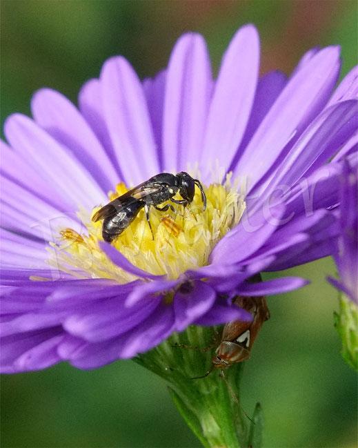 Bild: Maskenbiene, Hyleaus spec., auf einer Herbstasternblüte