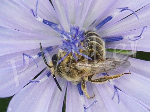 28.06.2020 : scheint mir ein Sandbienenmännchen, Andrena spec., an der Wegwarte