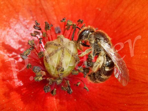 Bild: Furchenbiene, Halictus spec., Weibchen am Mohn
