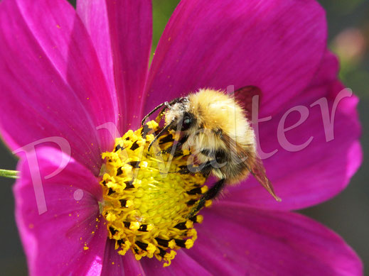 Bild: Hummel an einer Cosmeenblüte