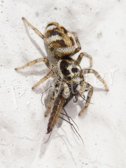 """10.03.2018 : Springspinne hat eine """"Mücke"""" erbeutet"""