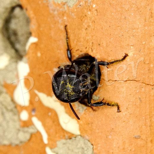 08.08.2020 : Wildbiene, etwas größer als Löcherbiene, Lochdurchmesser aber auch 3,5-4 mm