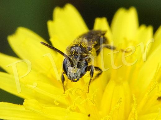 28.09.2020 : anscheinend eine kleine männliche Furchenbiene, bzw. Schmalbiene am Herbstlöwenzahn