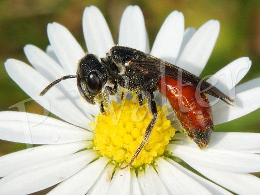 Bild: Blutbiene am Gänseblümchen