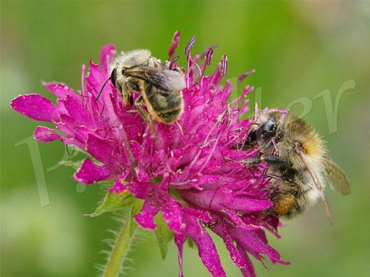 Bild: Osmia leaiana, Zweihöckrige Mauerbiene, Distel-Mauerbiene, Mazedonische Knautie, Knautia macedonica, Witwenblume, Hummel