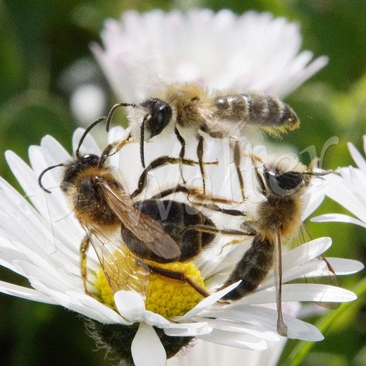 """Bild: Sandbienenweibchen, Andrena spec., """"attakiert"""" von zwei Männchen, Gänseblümchen"""