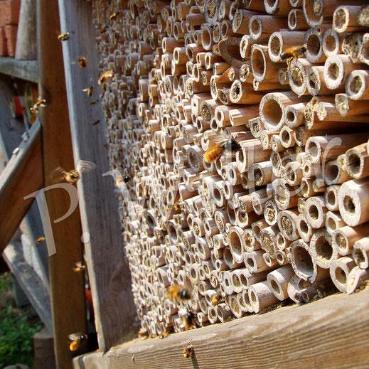 Bild: Insektennistwand, Weibchen der Gehörnten Mauerbiene, Osmia cornuta, und Männchen der Rostroten Mauerbiene, Osmia bicornis, Bambusstengel