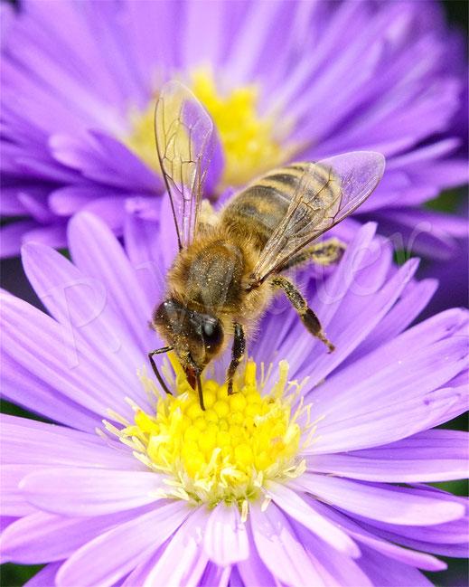 Bild: Honigbiene, Apis mellifera, trinkt Nektar an einer Herbstasternblüte