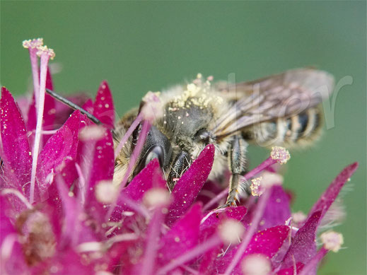 Bild: Blattschneiderbiene, Mörtelbiene, Megachile spec., Mazedonische Knautie, Knautia macedonica, Witwenblume
