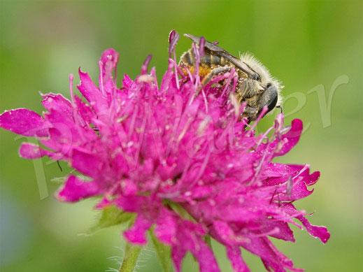 Bild: Osmia leaiana, Zweihöckrige Mauerbiene, Distel-Mauerbiene, Mazedonische Knautie, Knautia macedonica, Witwenblume
