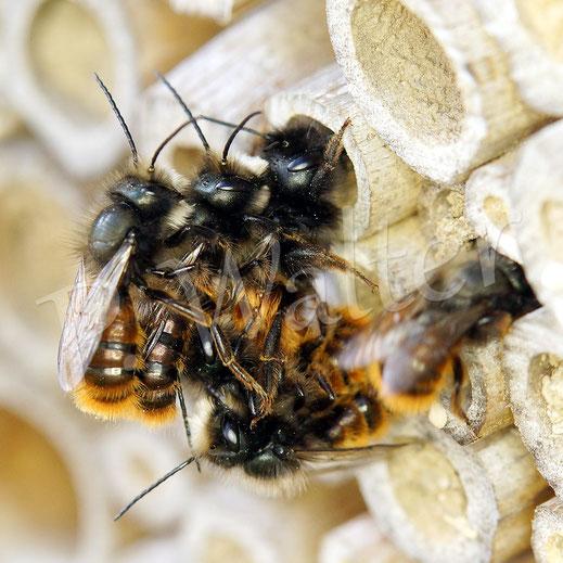 Bild: Paarung der Gehörnten Mauerbiene, Osmia cornuta, mit Hindernissen, am Nistausgang