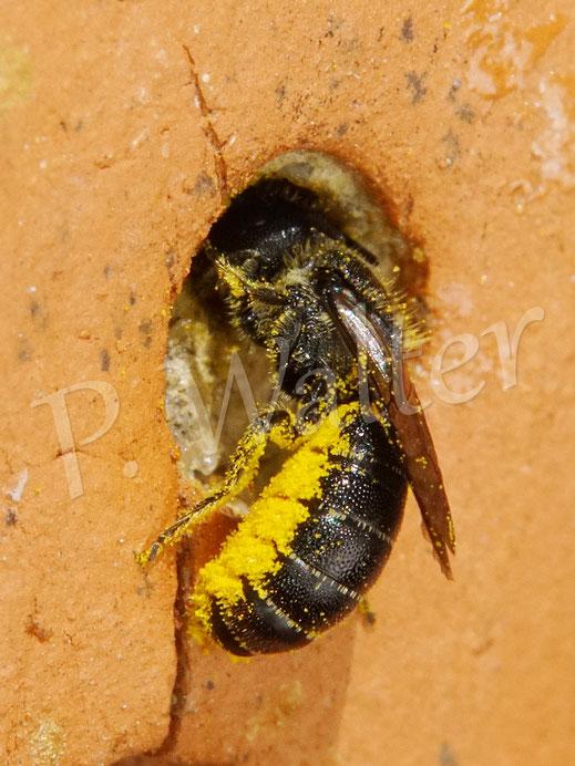 Bild: Löcherbiene, Osmia truncorum, an ihrem harzigen Nistverschluss im Tonstein