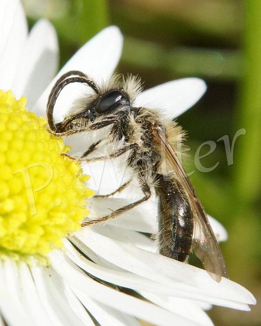 Bild: eine Sandbiene, Andrena spec., Männchen auf Gänseblümchen