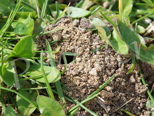 10.04.2018 : und an schütteren Stellen des Rasens nisten Wildbienen, wie hier z.B. die Graue Sandbiene