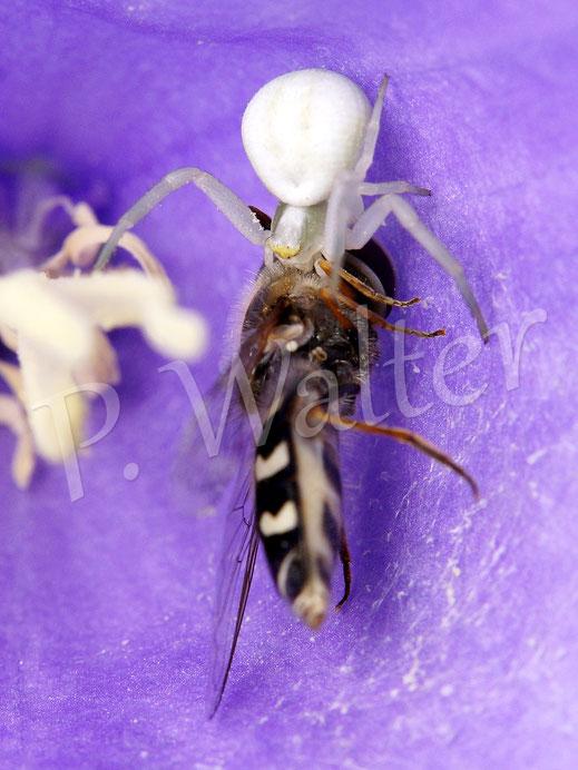 20.06.2015 : Krabbenspinne mit einer Schwebfliege in einer Glockenblumenblüte