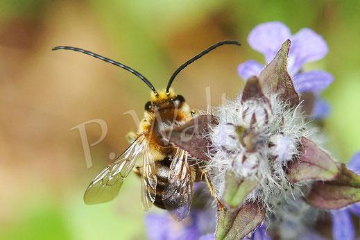 Langhornbiene aus Kroatien
