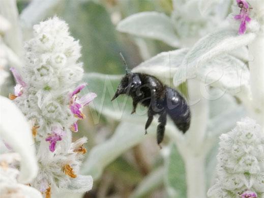 Bild: Baluschwarze Holzbiene, Xylocopa violacea, Woll-Ziest