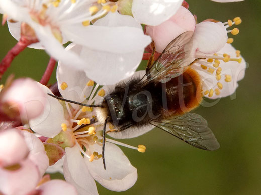 Bild: Gehörnte Mauerbiene, Osmia cornuta, Männchen an den Blüten der Blutpflaume