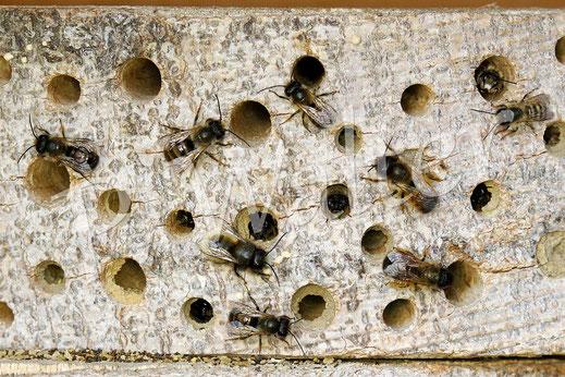 Bild: Nisthilfen, Wildbienen, Gehörnte Mauerbiene, Osmia cornuta, Holz mit Bohrlöchern, Rostrote Mauerbiene, Osmia bicornis