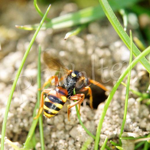 Bild: Wespenbiene, Nomada spec., Nisthügel der Grauen Sandbiene