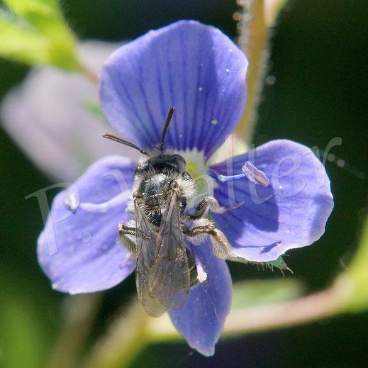 Bild: wahrscheinlich Männchen der Ehrenpreis-Sandbiene, Andrena viridescens, am Gamander-Ehrenpreis