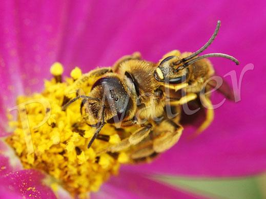 Bild: Gelbbindige Furchenbienen, Halictus scabiosae, Pärchen an einer Cosmeenblüte