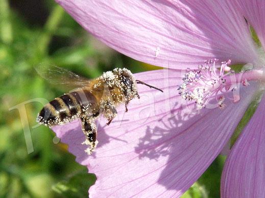 Bild: Honigbiene, Apis mellifera, im Anflug zur Malvenblüte