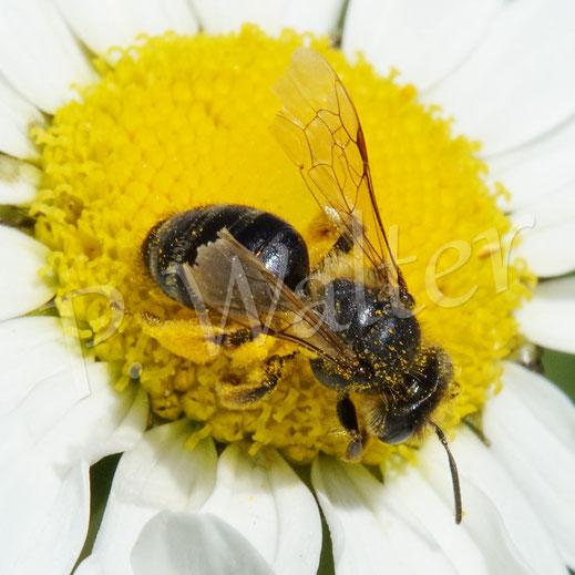 Bild: ein älteres Sandbienen(?)-Weibchen, Andrena spec., auf der Wiesen-Margerite
