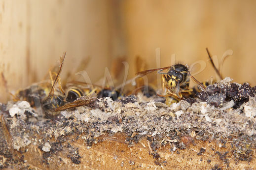 Bild: Wespennest im Meisenkasten, tote Wespen