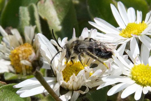 Bild: Männchen der Grauen Sandbiene, Andrena cineraria, am Gänseblümchen