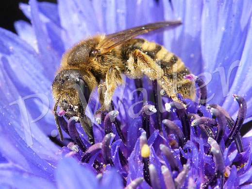 17.05.2020 : Gelbbindige Furchenbiene, Halictus scabiosae, an einer Kornblumenblüte