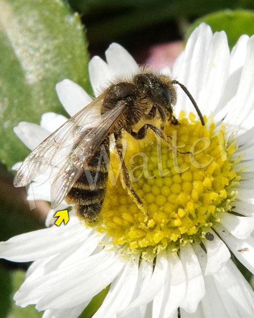 Bild: eine Sandbiene, Andrena spec., Gänseblümchen, nur andeutungsweise zu erkennen: mit einem Fächerflügler, Stylops spec., zwischen dem vierten und fünften Tergit