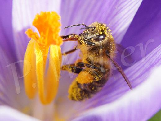 Bild : Honigbiene am Krokus