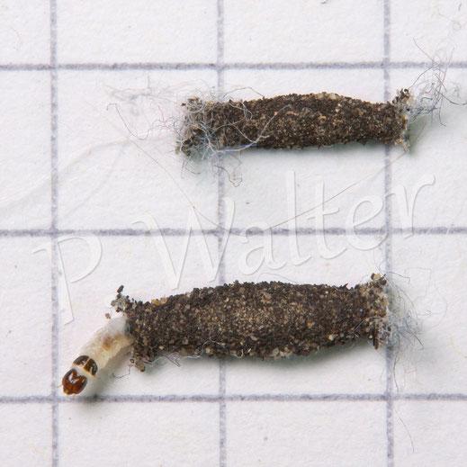 Bild: Raupen der Pelzmotte Tinea pellionella, die sich eine Zimmerwand hochzog