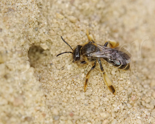 Bild: Waldschenkelbiene, Macropis fulvipes, am Gilbweiderich, Weibchen mit der typischen Abwehrhaltung ...