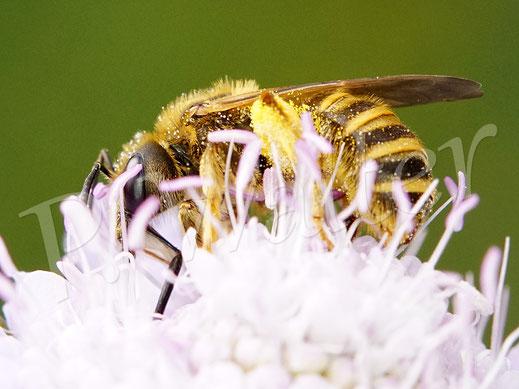 Bild: Gelbbindige Furchenbiene, Halictus spec., an einer Tauben-Skabiose