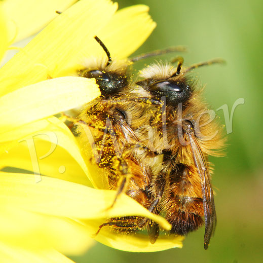 Bild: Rostrote Mauerbienen, Osmia bicornis, zwei Männchen, am Löwenzahn