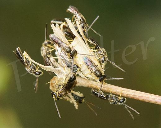 Bild: Schmalbienen-Schlafhaufen, Lasioglossum spec., alles Männchen, abends am trockenen Wegwartenstengel, zwecks Übernachtung