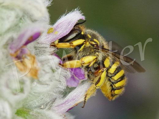 Bild: Garten-Wollbiene, Anthidium manicatum, Weibchen am Woll-Ziest